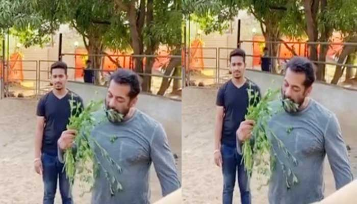 Salman Khan was seen eating grass with his love in lockdown - watch video